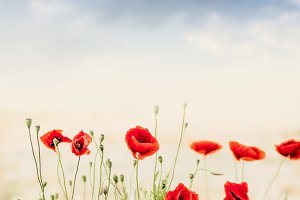 Red poppies at sky background