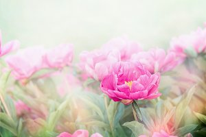 Pink peonies blomming in garden