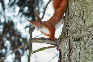 Cute red squirrel sitting on tree tr