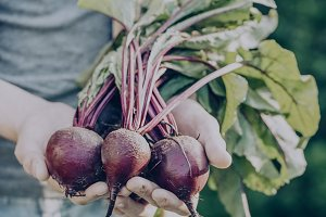 Farmer Hand Holds Fresh Beetroots