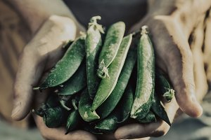 Farmer Holds Fresh Green Pea