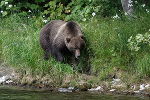 Wild Kamchatka brown bear