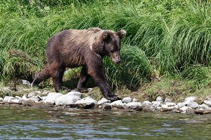 Young Kamchatka brown bear