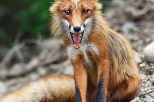 Beautiful red fox sitting on stones