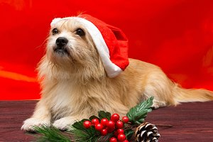 dog in a Christmas hat