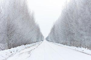 road among birch trees