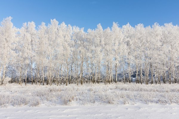 birch grove in winter