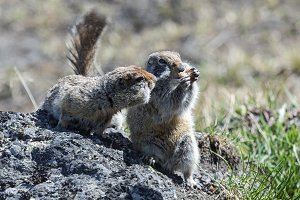 Two cute ground squirrel
