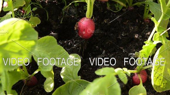 Farmer Harvesting Radish In Vegetable Garden