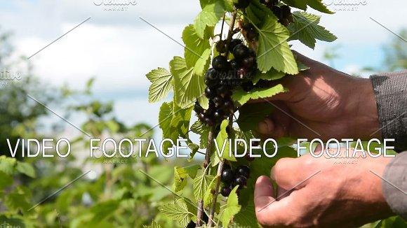 Black Currant Harvesting