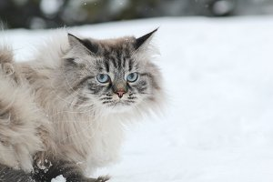 Big furry cat walks in the snow