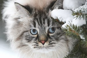 Face of a big furry cat hunts in the snow between the trees