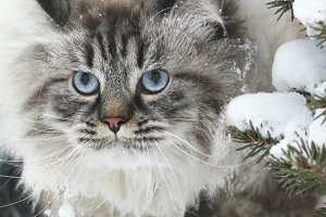 Face of a big furry cat hunts in the snow between the trees in winter