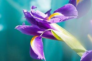 Violet Iris.
