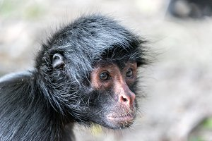 Spider Monkey Face Closeup