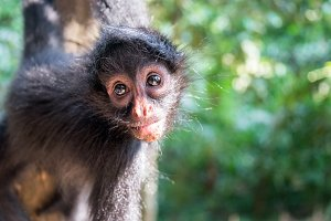Hanging Spider Monkey