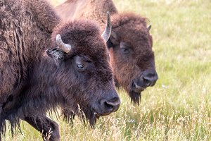 Bison Closeup View