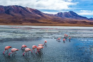 Pink Flamingoes in Bolivia