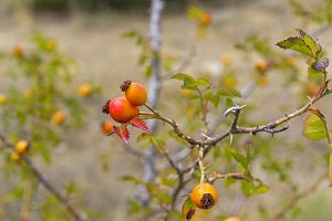 Fruits of wild rose hips close-up.