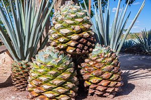 Blue Agave Pineapples