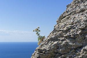 Flowering plant on the coastal rock.