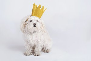 funny dog with crown