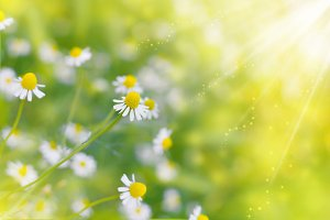 Chamomile (Daisies) Spring flowers