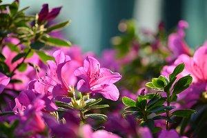 Azalea flower bunch