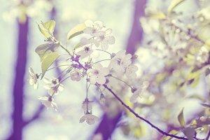 Flowering cherry at haze. Spring