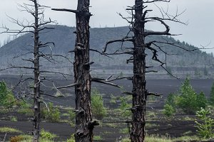 Burnt bare trees in Dead Wood