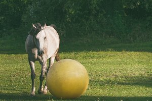 Gray horse play ball