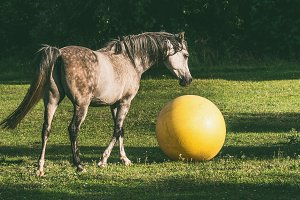 Arabian horse playing ball