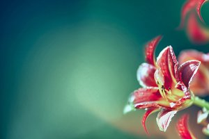Red lily flowers at blurred nature