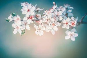 Cherry spring blossom background