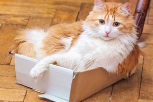 Surprised red cat in box