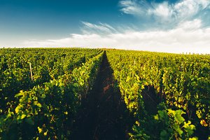 Vineyards In Russia At Dawn. Lefkada