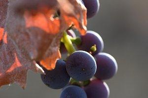 Close-up of ripe autumn grapes