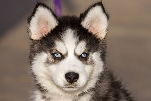 Blue-eyed Siberian Husky Puppy head.