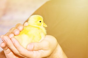 Beautiful little yellow duckling