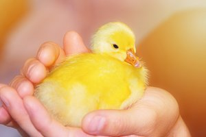 Fluffy little domestic duckling