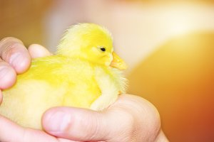 Little yellow domestic duckling