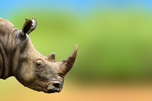 Highly alerted rhino