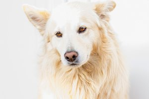 White dog - High-key