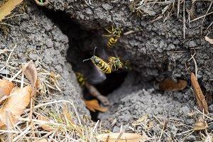 Vespula vulgaris. Wasps