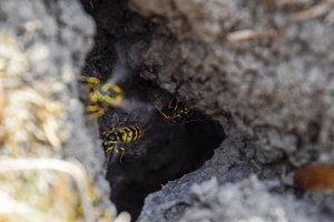 Wasps fly into their nest