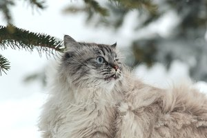 Big furry cat walks in the snow between the trees