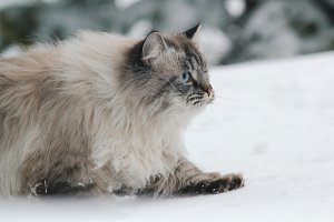 Big furry cat sneaks in the snow between the trees