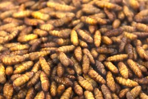 unaccustomed asian food roasted crunchy silkworm