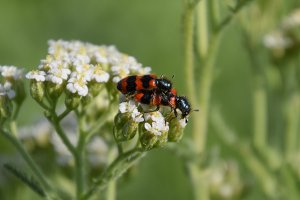 Mating of red beetles on white inflo