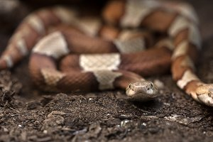 Brown venomous snake on the ground